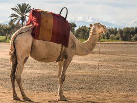 marrakech chameau promenade